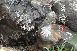 菊花石究竟是不是菊花的化石