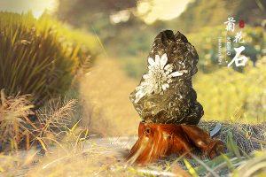 赏玩菊花石也能改变气质